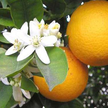 Clenbutrol Ingredient Citrus Aurantium