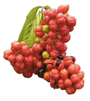 Clenbutrol Ingredient Guarana Seeds