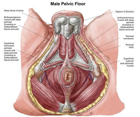 pelvic floor muscles in men